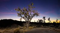 Joshua tree at dusk; Mojave National Preserve, California
